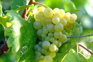 grapes-908990_640